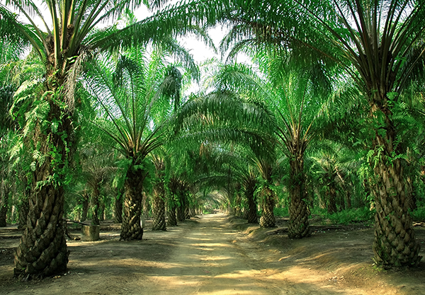 Palma-da-olio